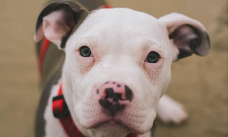 Dos pitbulls murieron tras salvar a un niño de un incendio